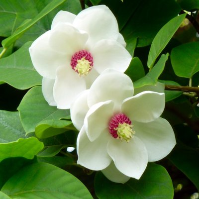 WINTER SALE - Magnolia Sieboldii