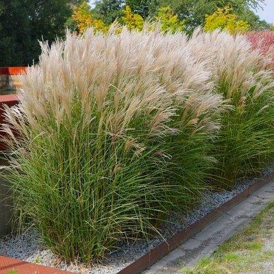 Miscanthus sinensis Kleine Silberspinne - Chinese Silver Grass