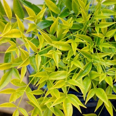 Nandina domestica Brightlight - Brightly Coloured Heavenly Bamboo