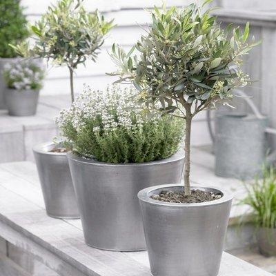 Olea Europa - Young Olive Tree - Mini Standard