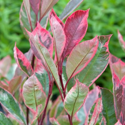 WINTER SALE - Photinia fraseri Louise - Variegated Red Robin Plants