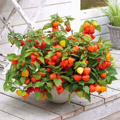 Chinese Lantern Plants - Physalis alkekengi var. franchetii - Pack of THREE