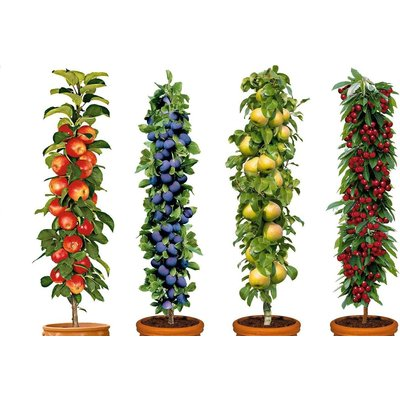 WINTER SALE - Four Pot Grown Dwarf Patio PILLAR Fruit Trees Mini Orchard