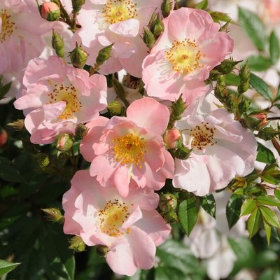 WINTER SALE - Rambling Rose Open Arms