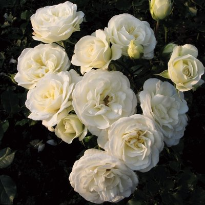 WINTER SALE - Rose Wedding Rose - Shrub Rose
