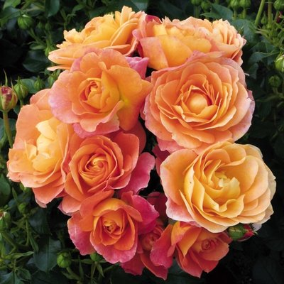 WINTER SALE - Rose Bonfire - Floribunda Shrub Rose