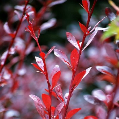 WINTER SALE - Berberis thunbergii Red Chief - Red Leaf Barberry