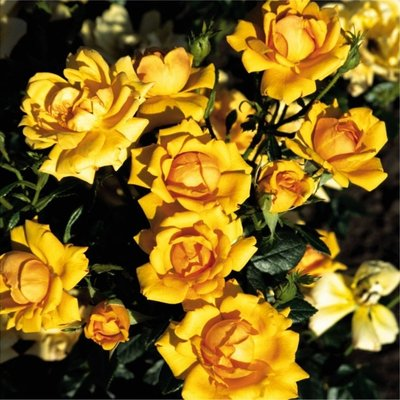 WINTER SALE - Rose Amber Nectar - Floribunda Shrub Rose