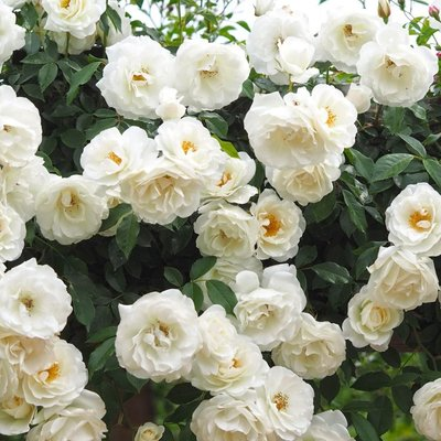 WINTER SALE - Large 6-7ft Specimen - Climbing Rose Iceberg (Shneewitchen)
