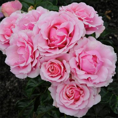 WINTER SALE - Rose Evy - Floribunda Shrub Rose