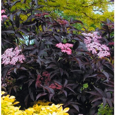 WINTER SALE - Sambucus nigra Black Beauty - Noir Elder Sambuca Plant