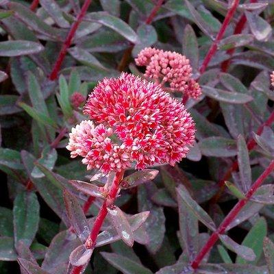 Sedum telphinium Marina - Stonecrop