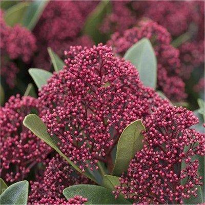 WINTER SALE - Skimmia japonica Rubella - Young Plant in Bud