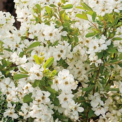 WINTER SALE - Exochorda Magical Snowdrops - Pearl Bush