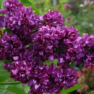 WINTER SALE - Syringa vulgaris Charles Joly - Fragrant Lilac