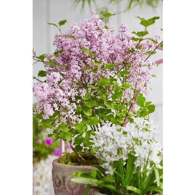 Dwarf Korean Lilac - Syringa Josee SHRUB - Pack of THREE Plants