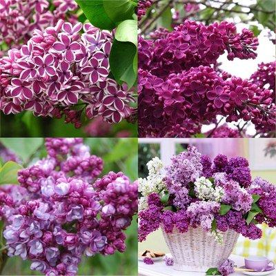 Fragrant Purple Lilac Trees - Pack of THREE Syringa Vulgaris Shrubs