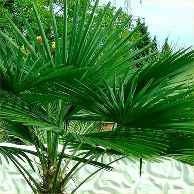 WINTER SALE - Trachycarpus fortunei - Hardy Chusan Windmill Fan Palm - Young 30-40cm Hardy Palm Tree