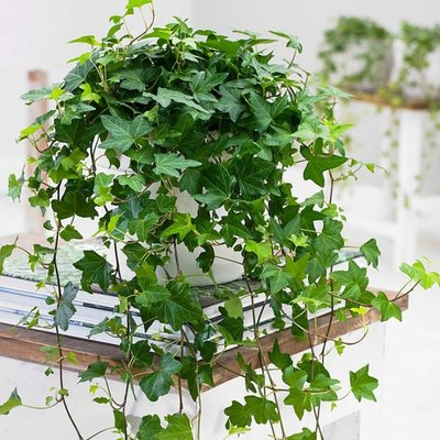 WINTER SALE - Trailing GREEN Ivy for Baskets & Planters - Pack of FIVE Hedera Plants
