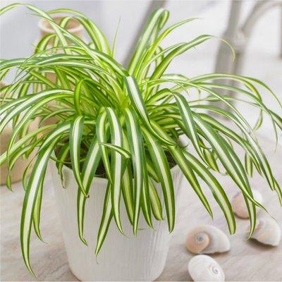 WINTER SALE - Variegated Spider Plant - Chlorophytum - in White Display Pot