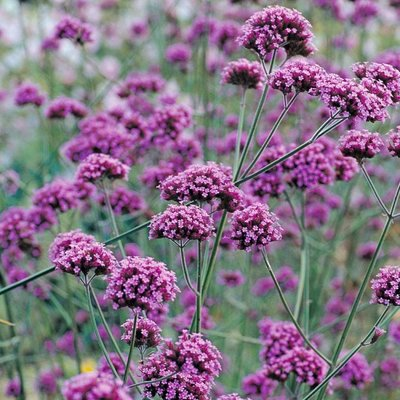 WINTER SALE - Verbena Bonariensis