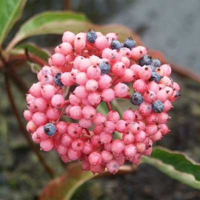 Viburnum nudum Pink Beauty - Larger Plant