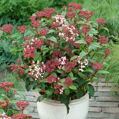 SPECIAL DEAL - Evergreen Viburnum tinus - Laurustinus - Pack of THREE