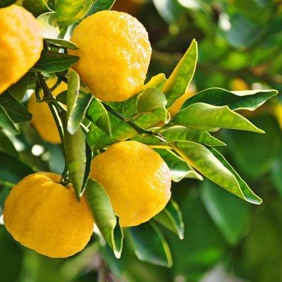 WINTER SALE - Yuzu Lime - Citrus Tree - 60-80cms