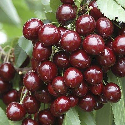 Sweet Cherry Stella bare-root tree 1.2 - 1.4m tall (Prunus avium)