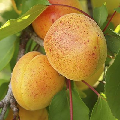 """Apricot """"Early Moorpark"""" bare root tree"""