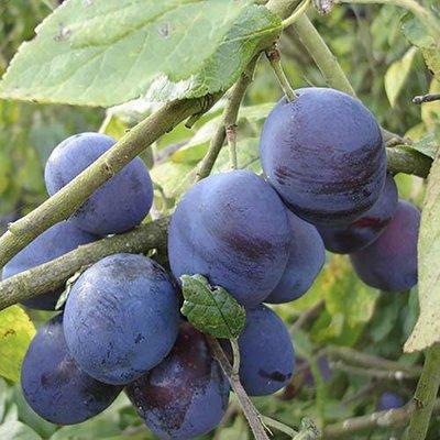 Damson Merryweather Plum Patio Fruit Tree Bare Root 1.4m Tall