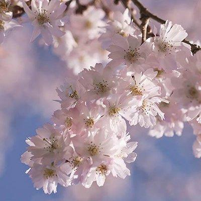 Flowering Cherry Autumnalis Rosea