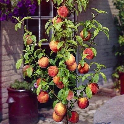 Leaf-Curl Resistant Peach