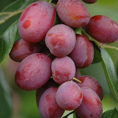 Plum Little Vic Patio Fruit Tree in a 4L Pot