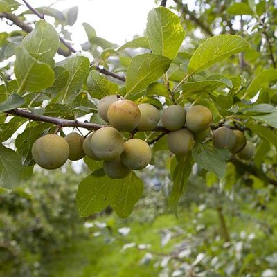 Sibleys Patio Gage Reine-Claude Fruit Tree in a 4.L Pot