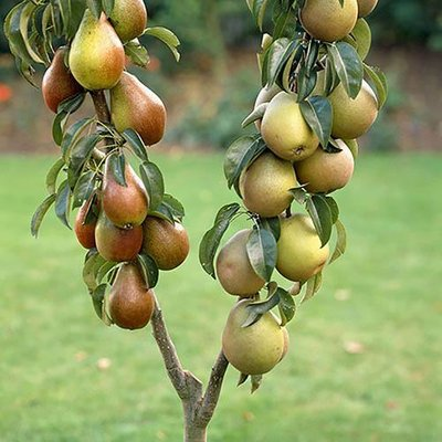 Pear Patio Duo Fruit Tree - Conference and Concorde on 1 Potted Tree 3L