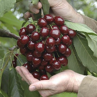 Patio Sweet Cherry tree