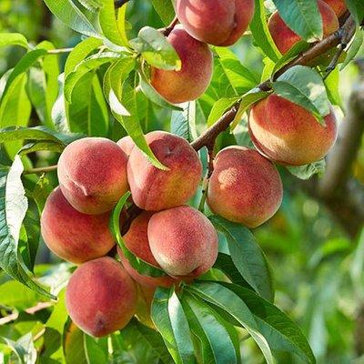Peach Suncrest 5L