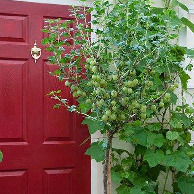 Gooseberry Invicta Standard