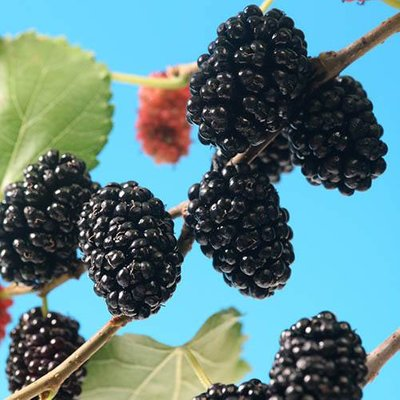 Morus rotundiloba Mojo Berry Dwarf Mulberry
