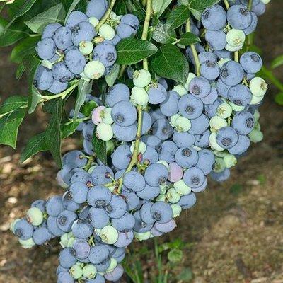 Blueberry vaccinium (mid season)