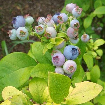 Blueberry Yellowberry Blue