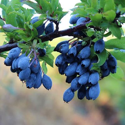 Blueberry Bluedrop
