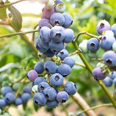 Blueberry Collection Set of 3 Blue Sapphire Jumbo Plugs