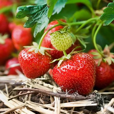 Strawberry Cambridge Favourite Fruit Bush - Pack x 20 Runners to Grow Your Own