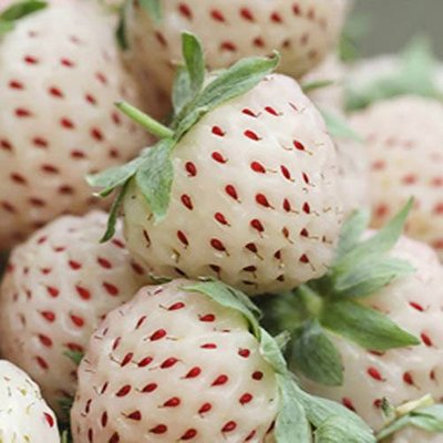 White Strawberry (Pineberry) Pack of 3 Potted Plants