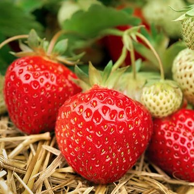 Strawberry Buddy 3 x 9cm