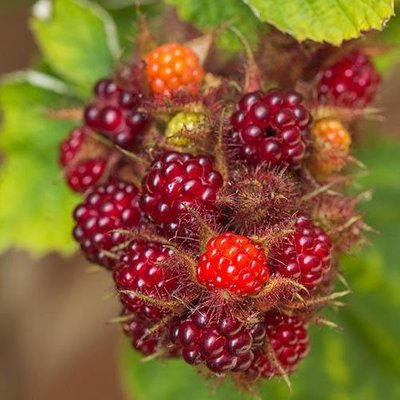 Japanese Wineberry Fruit Bush in a 2L Pot