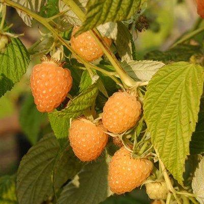 Organic Raspberry Autumn Amber 12cm