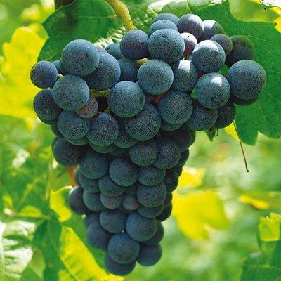 Grape Vine Boskoop Glory